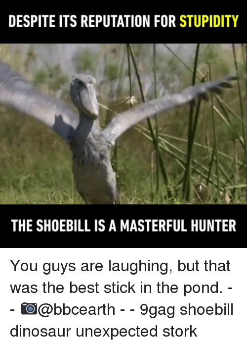 9gag, Dinosaur, and Memes: DESPITE ITS REPUTATION FOR STUPIDITY  THE SHOEBILL IS A MASTERFUL HUNTER You guys are laughing, but that was the best stick in the pond. - - 📷@bbcearth - - 9gag shoebill dinosaur unexpected stork