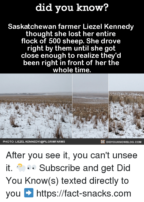 saskatchewan: did you know?  Saskatchewan farmer Liezel Kennedy  thought she lost her entire  flock of 500 sheep. She drove  right by them until she got  close enough to realize the  been right in front of her the  whole time.  DIDYouK Now BLOG coM  PHOTO: LIEZEL KENNEDY/@PILGRIMFARMS After you see it, you can't unsee it. 🐑👀  Subscribe and get Did You Know(s) texted directly to you ➡ https://fact-snacks.com