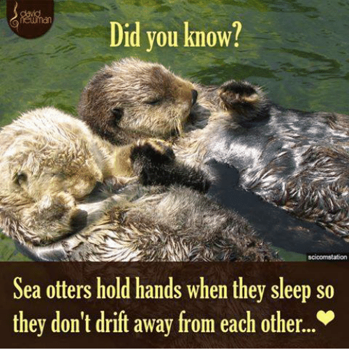 Memes, Otters, and Sleeping: Did you know?  scicomstation  Sea otters hold hands when they sleep so  they don't drift away from each other