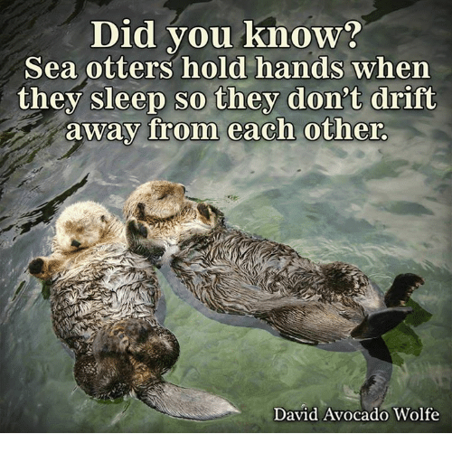 Memes, Otters, and Avocado: Did you know?  Sea otters hold hands when  they sleep so they don't drift  away from each other.  David Avocado Wolfe