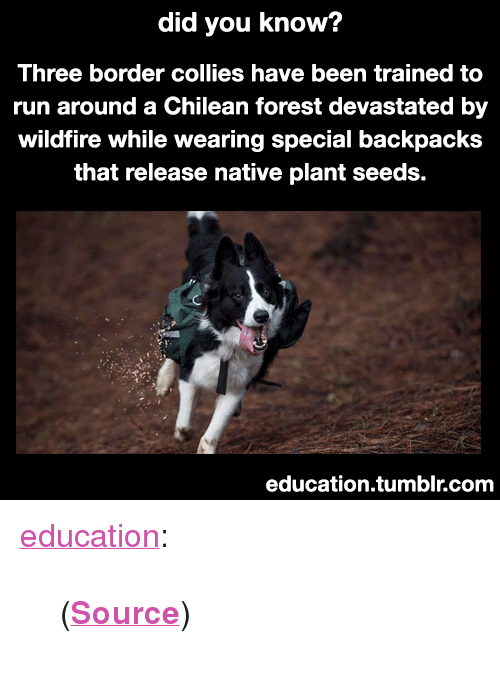 "Run, Tumblr, and Blog: did you know?  Three border collies have been trained to  run around a Chilean forest devastated by  wildfire while wearing special backpacks  that release native plant seeds.  education.tumblr.com <p><a href=""https://education.tumblr.com/post/173297149930/source"" class=""tumblr_blog"">education</a>:</p>  <blockquote><p>(<b><a href=""http://www.greenmatters.com/living/2018/02/19/2m3wBf/border-collies-forest"">Source</a></b>)</p></blockquote>"
