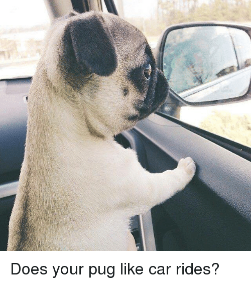 Pugly: Does your pug like car rides?