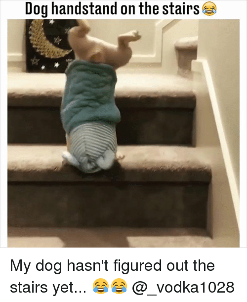 Memes, 🤖, and Dog: Dog handstand on the stairs My dog hasn't figured out the stairs yet... 😂😂 @_vodka1028