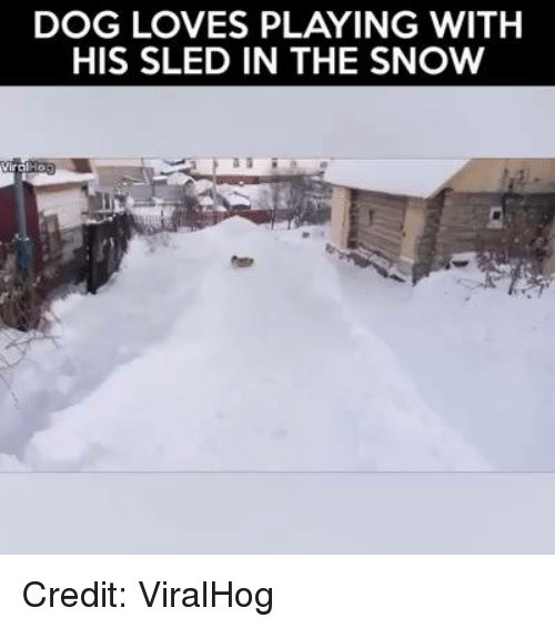 Memes, 🤖, and Sleds: DOG LOVES PLAYING WITH  HIS SLED IN THE SNOW Credit: ViralHog