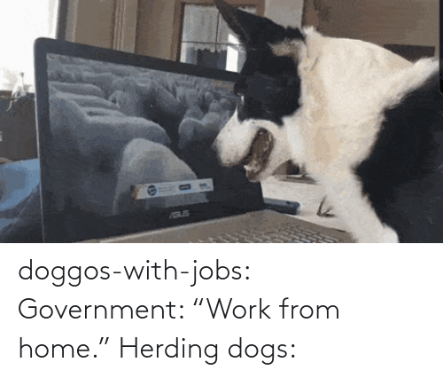 """Government: doggos-with-jobs:  Government: """"Work from home."""" Herding dogs:"""