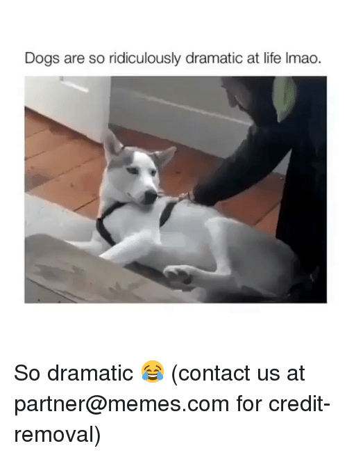 Dogs, Life, and Memes: Dogs are so ridiculously dramatic at life Imao. So dramatic 😂 (contact us at partner@memes.com for credit-removal)