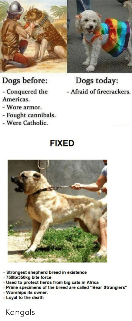 """Africa, Cats, and Dogs: Dogs before:  Dogs today:  -Afraid of firecrackers.  Conquered the  Americas.  - Wore armor.  - Fought cannibals.  - Were Catholic.  FIXED  - Strongest shepherd breed in existence  - 750lb/350kg bite force  Used to protect herds from big cats in Africa  - Prime specimens of the breed are called """"Bear Stranglers""""  Worships its owner.  - Loyal to the deatlh Kangals"""
