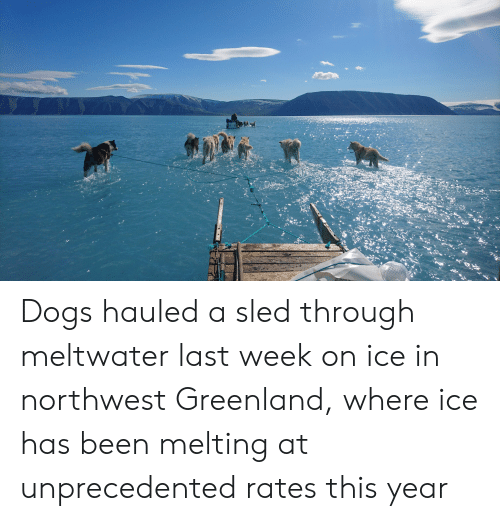 Dogs, Been, and Greenland: Dogs hauled a sled through meltwater last week on ice in northwest Greenland, where ice has been melting at unprecedented rates this year
