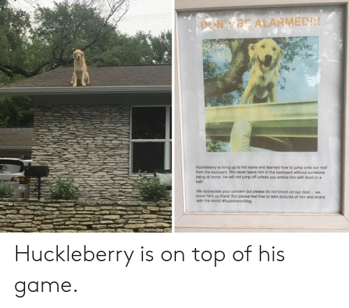Alarmed: DON'T BE ALARMED!!!  Huckleberry is living up to his name and learned how to jump onto our roof  from the backyard. We never leave him in the backyard without someone  being at home. He will not jump off unless you entice him with food or a  ball  We appreciate your concern but please do not knock on our door.. we  know he's up there! But please feel free to take pictures of him and share  with the world! Huckleberry is on top of his game.