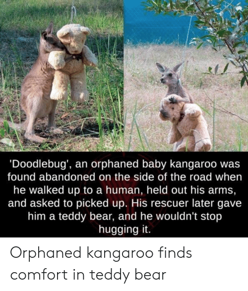 Bear, The Road, and Baby: 'Doodlebug', an orphaned baby kangaroo wa:s  found abandoned on the side of the road when  he walked up to a human, held out his arms,  and asked to picked up. His rescuer later gave  him a teddy bear, and he wouldn't stop  hugging it. Orphaned kangaroo finds comfort in teddy bear