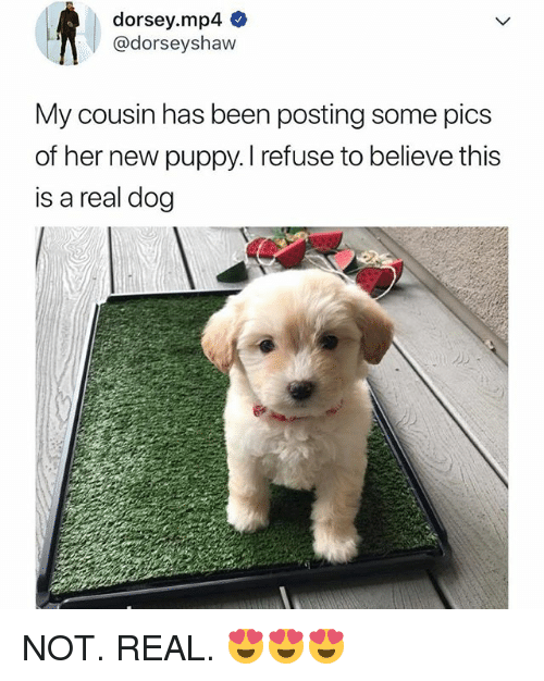 Puppy, Relatable, and Been: dorsey.mp4  @dorseyshaw  My cousin has been posting some pics  of her new puppy. I refuse to believe thi:s  is a real dog NOT. REAL. 😍😍😍