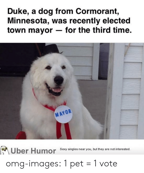 Omg, Sexy, and Tumblr: Duke, a dog from Cormorant,  Minnesota, was recently elected  town mayor- for the third time.  MAYOR  Uber Humor  Sexy singles near you, but they are not interested. omg-images:  1 pet = 1 vote