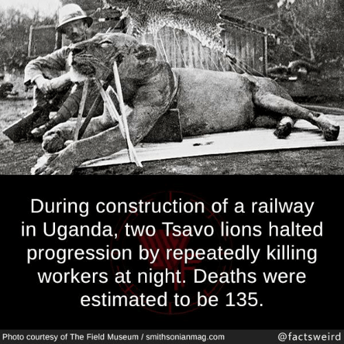 Memes, Lions, and Construction: During construction of a railway  in Uganda, two Tsavo lions halted  progression by repeatedly killing  workers at night. Deaths were  estimated to be 135.  Photo courtesy of The Field Museum / smithsonianmag.com  @factsweird