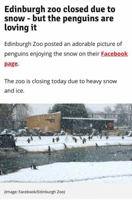 Facebook, Penguins, and Snow: Edinburgh zoo closed due to  snow - but the penguins are  loving it  Edinburgh Zoo posted an adorable picture of  penguins enjoying the snow on their Facebook  page.  The zoo is closing today due to heavy snow  and ice.