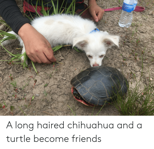 Botting: EEOGENCORP LLS  TLET7072  ESERGA  GARA BOTTING LLC  9(87771s PURE  A normation  A77TPUPE  stercom  SISOWSO 35 A long haired chihuahua and a turtle become friends