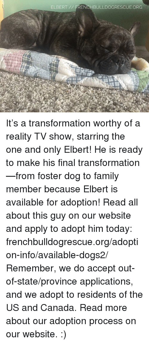 Memes, Transformers, and TV Shows: ELBERT  FRENCHBULLDOGRESCUE. ORG It's a transformation worthy of a reality TV show, starring the one and only Elbert! He is ready to make his final transformation —from foster dog to family member because Elbert is available for adoption! Read all about this guy on our website  and apply to adopt him today: frenchbulldogrescue.org/adoption-info/available-dogs2/  Remember, we do accept out-of-state/province applications, and we adopt to residents of the US and Canada. Read more about our adoption process on our website. :)