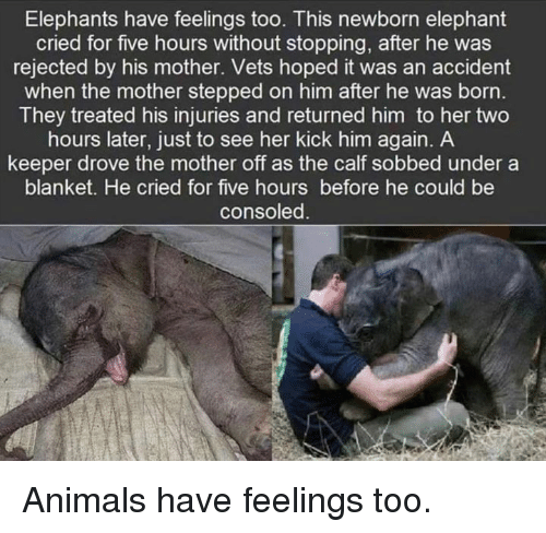 Animals, Dank, and Elephant: Elephants have feelings too. This newborn elephant  cried for five hours without stopping, after he was  rejected by his mother. Vets hoped it was an accident  when the mother stepped on him after he was born  They treated his injuries and returned him to her two  hours later, just to see her kick him again. A  keeper drove the mother off as the calf sobbed under a  blanket. He cried for five hours before he could be  consoled Animals have feelings too.