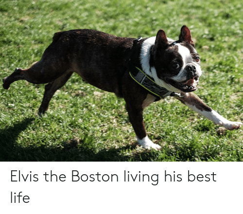Life, Best, and Boston: Elvis the Boston living his best life