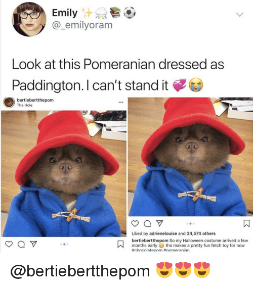 Halloween, Memes, and Pomeranian: Emily  @_emilyoram  Look at this Pomeranian dressed as  Paddington. I can't stand it  bertiebertthepom  The Hole  Liked by adrienelouise and 34,574 others  bertiebertthepom So my Halloween costume arrived a few  months earlytho makes a pretty fun fetch toy for now  @bertiebertthepom 😍😍😍