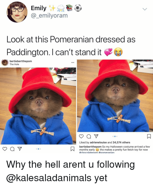 Ass, Halloween, and Memes: Emily  @_emilyoram  Look at this Pomeranian dressed ass  Paddington. l can't stand it  bertiebertthepom  The Hole  Liked by adrienelouise and 34,574 others  bertiebertthepom So my Halloween costume arrived a few  months earlytho makes a pretty fun fetch toy for now  Why the hell arent u following @kalesaladanimals yet