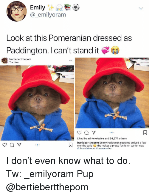 Halloween, Memes, and Pomeranian: @_emilyoram  Look at this Pomeranian dressed as  Paddington. I can't stand it  bertiebertthepom  The Hole  Liked by adrienelouise and 34,574 others  bertiebertthepom So my Halloween costume arrived a few  months earlytho makes a pretty fun fetch toy for now  #chnolaten)m #nnm era nian I don't even know what to do. Tw: _emilyoram Pup @bertiebertthepom