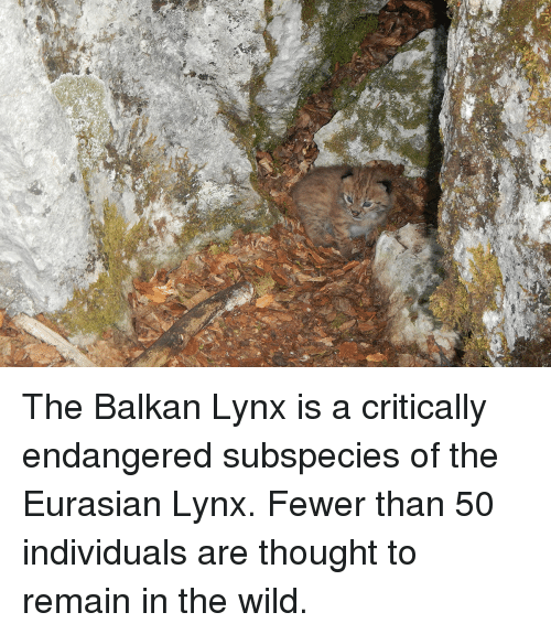 Wild, Thought, and Lynx: et The Balkan Lynx is a critically endangered subspecies of the Eurasian Lynx. Fewer than 50 individuals are thought to remain in the wild.