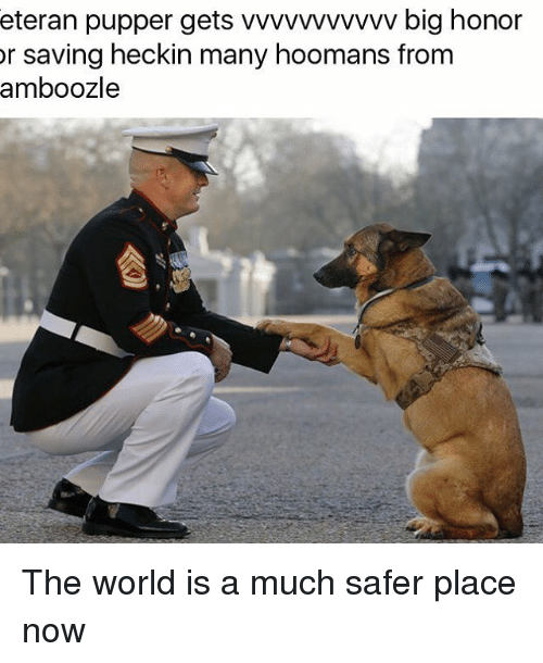 Heckin: eteran pupper gets vvvvvvvvvvv big honor  or saving heckin many hoomans from  amboozle The world is a much safer place now
