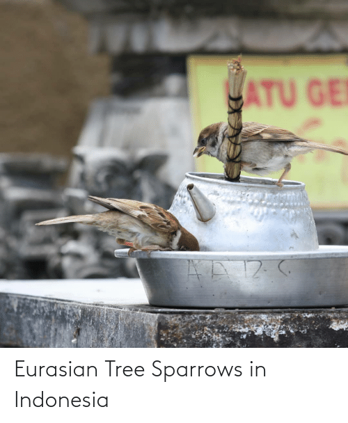 Indonesia: Eurasian Tree Sparrows in Indonesia
