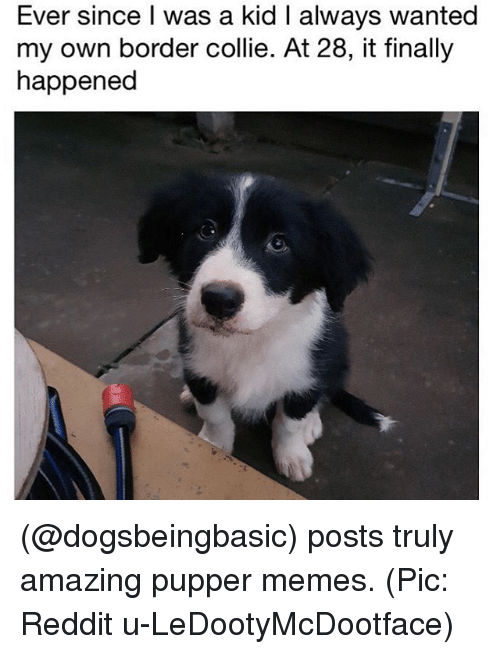 Reddits: Ever since I was a kid I always wanted  my own border collie. At 28, it finally  happened (@dogsbeingbasic) posts truly amazing pupper memes. (Pic: Reddit u-LeDootyMcDootface)