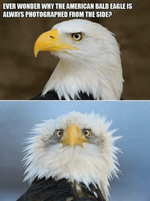 American, Eagle, and Wonder: EVER WONDER WHY THE AMERICAN BALD EAGLE IS  ALWAYS PHOTOGRAPHED FROM THE SIDE?