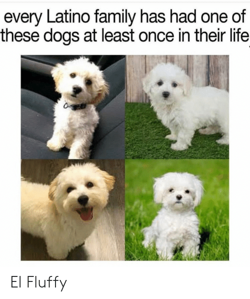 Dogs, Family, and Life: every Latino family has had one of  these dogs at least once in their life El Fluffy