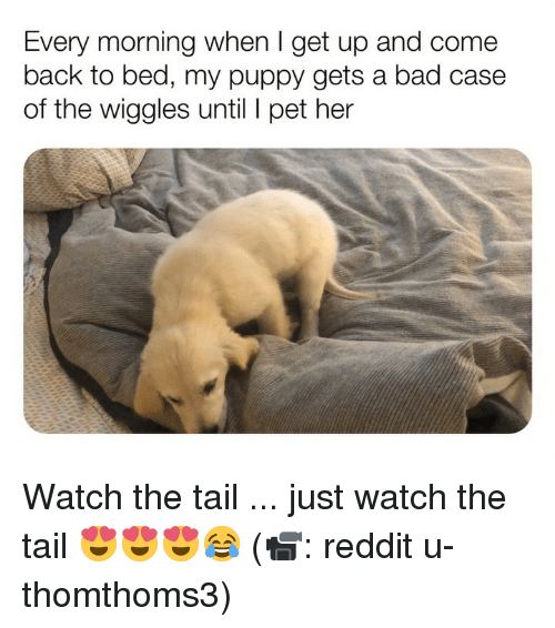 Bad, Memes, and Reddit: Every morning when I get up and come  back to bed, my puppy gets a bad case  of the wiggles until pet her Watch the tail ... just watch the tail 😍😍😍😂 (📹: reddit u-thomthoms3)