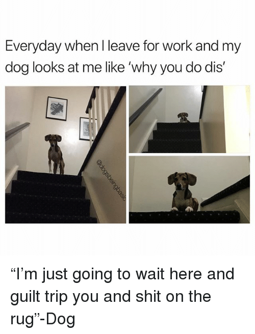 "Memes, Shit, and Work: Everyday when I leave for work and my  dog looks at me like 'why you do dis' ""I'm just going to wait here and guilt trip you and shit on the rug""-Dog"