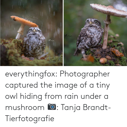 owl: everythingfox:   Photographer captured the image of a tiny owl hiding from rain under a mushroom   📷:  Tanja Brandt-Tierfotografie