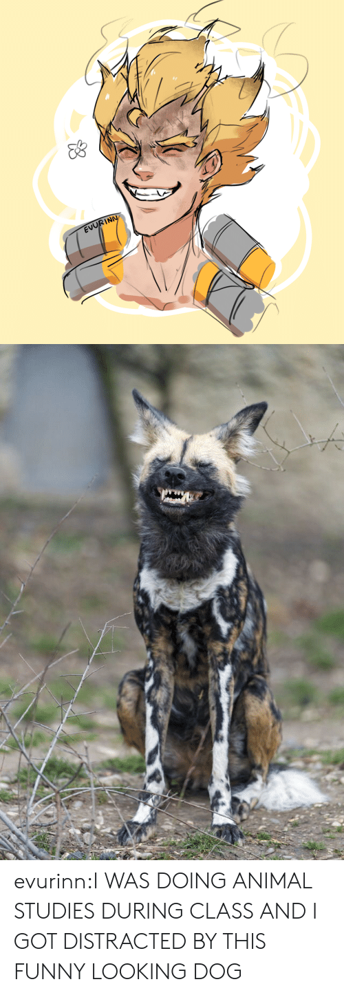 Funny, Tumblr, and Animal: EVORIN evurinn:I WAS DOING ANIMAL STUDIES DURING CLASS AND I GOT DISTRACTED BY THIS FUNNY LOOKING DOG