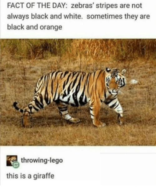 Lego, Black, and Black and White: FACT OF THE DAY: zebras' stripes are not  always black and white. sometimes they are  black and orange  throwing-lego  this is a giraffe