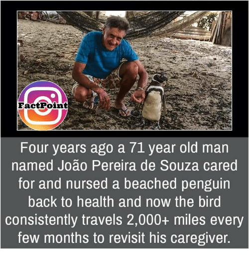 Memes, Old Man, and Beach: FactPoint  Four years ago a 71 year old man  named Joao Pereira de Souza cared  for and nursed a beached penguin  back to health and n0W the bird  consistently travels 2,000+ miles every  few months to revisit his caregiver.
