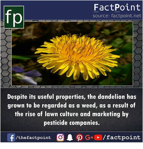 Memes, Weed, and 🤖: FactPoint  source: factpoint.net  Despite its useful properties, the dandelion has  grown to be regarded as a weed, as a result of  the rise of lawn culture and marketing by  pesticide companies.  /thefactpoint O  factpoint