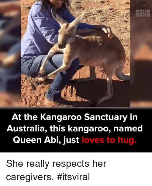 Memes, Queen, and Australia: FACTSill  At the Kangaroo Sanctuary in  Australia, this kangaroo, named  Queen Abi, just  loves to hug. She really respects her caregivers.  #itsviral