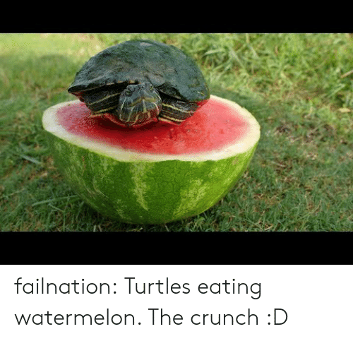 Tumblr, Blog, and Com: failnation:  Turtles eating watermelon. The crunch :D
