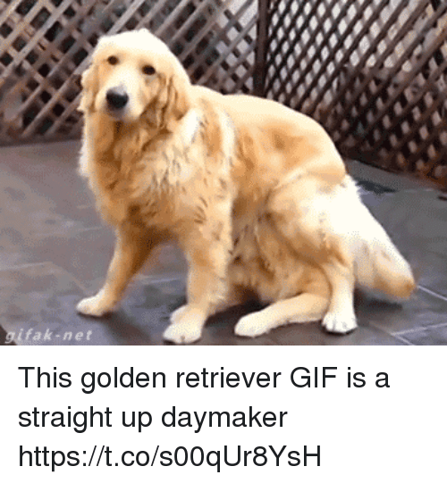 Gif, Golden Retriever, and Girl Memes: fak-net This golden retriever GIF is a straight up daymaker https://t.co/s00qUr8YsH