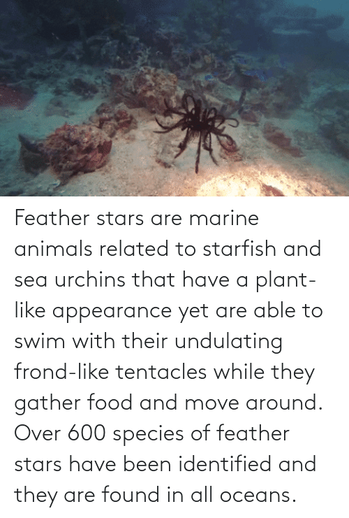 marine animals: Feather stars are marine animals related to starfish and sea urchins that have a plant-like appearance yet are able to swim with their undulating frond-like tentacles while they gather food and move around. Over 600 species of feather stars have been identified and they are found in all oceans.