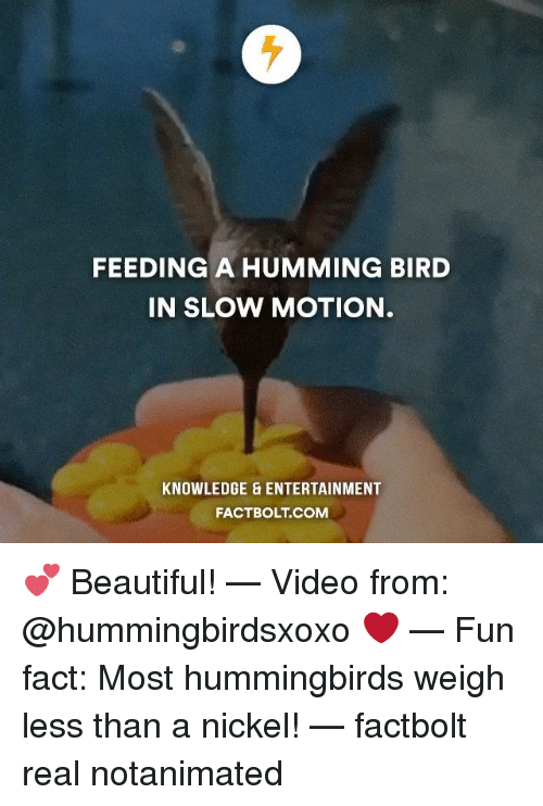 Memes, Slow Motion, and Birds: FEEDING A HUMMING BIRD  IN SLOW MOTION  KNOWLEDGE & ENTERTAINMENT  FACT BOLT COM 💕 Beautiful! — Video from: @hummingbirdsxoxo ❤️ — Fun fact: Most hummingbirds weigh less than a nickel! — factbolt real notanimated