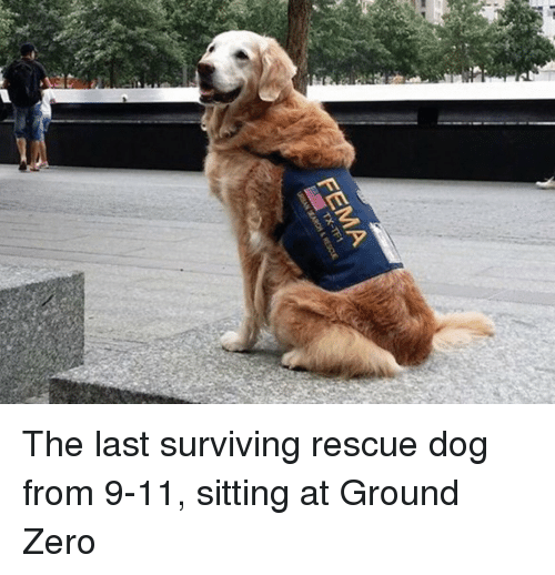 ground zeroes: FEMA  TX-TF1 The last surviving rescue dog from 9-11, sitting at Ground Zero