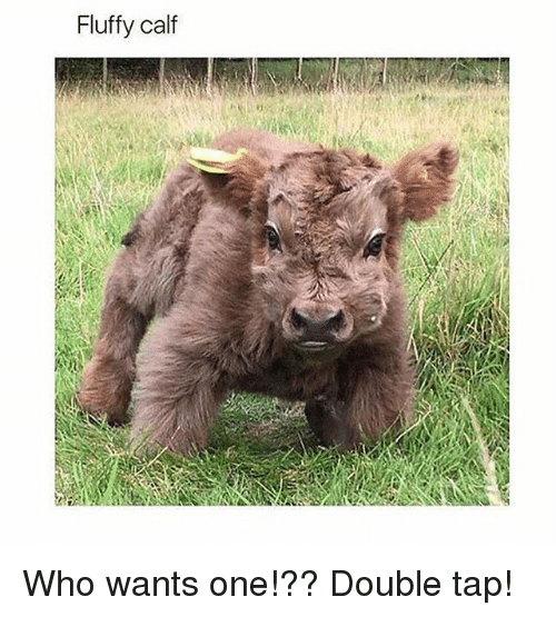 Memes, 🤖, and Who: Fluffy calf Who wants one!?? Double tap!
