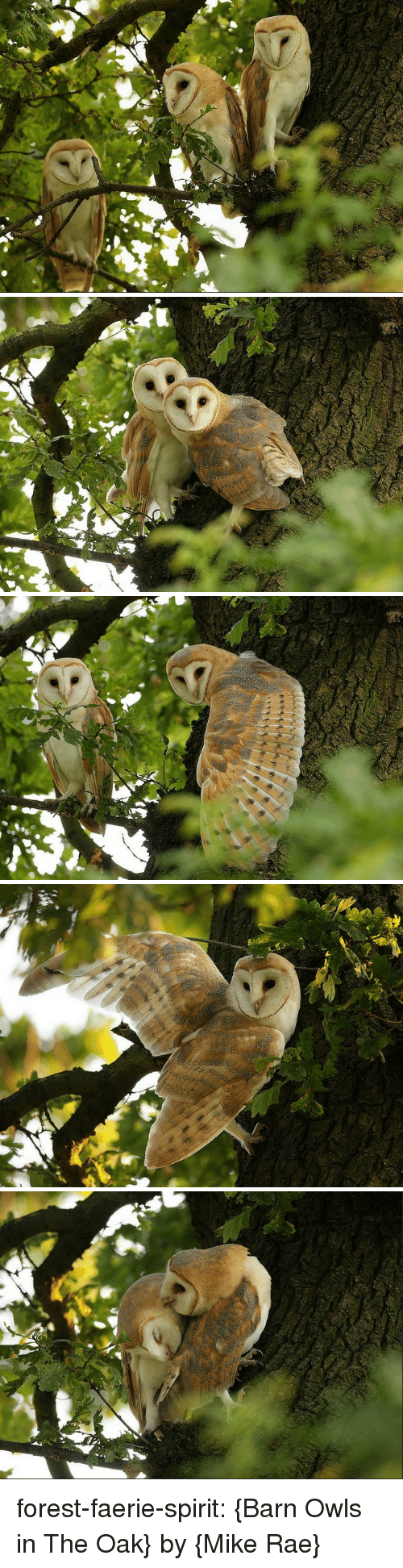 owls: forest-faerie-spirit: {Barn Owls in The Oak} by {Mike Rae}