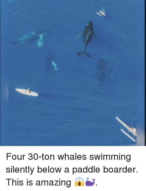 boarder: Four 30-ton whales swimming silently below a paddle boarder. This is amazing 😱🐳.