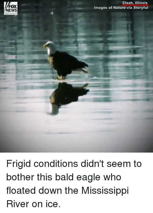 Memes, News, and Eagle: FOX  NEWS  Elsah, IIlinois  Images of Nature via Storyful Frigid conditions didn't seem to bother this bald eagle who floated down the Mississippi River on ice.