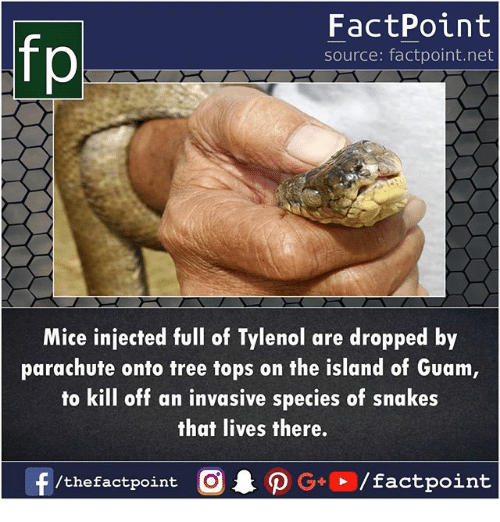 Memes, Snakes, and Tree: fp  FactPoint  source: factpoint.net  Mice injected ul of Tylenol are dropped by  parachute onto tree tops on the island of Guam  to kill off an invasive species of snakes  that lives there.