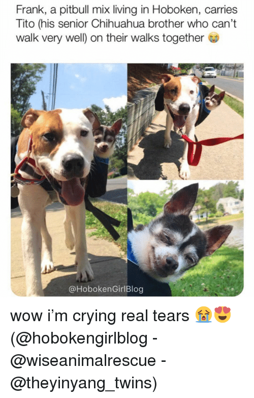 Chihuahua, Crying, and Memes: Frank, a pitbull mix living in Hoboken, carries  Tito (his senior Chihuahua brother who can't  walk very well) on their walks together  @HobokenGirlBlog wow i'm crying real tears 😭😍 (@hobokengirlblog - @wiseanimalrescue - @theyinyang_twins)
